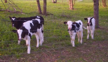 Veal Calves in Pasture