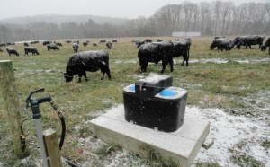 Cattle continue to graze as snow flies at Angus Glen Farm. All photos by Brett Chedzoy