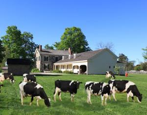 CowsOnTheLawn