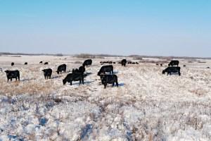 cows eat snow