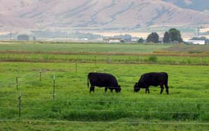 Cattle testing forages in pasture.  Photo courtesy of Utah State University's BEHAVE program