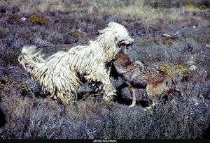 LGD komondor fighting with coyote