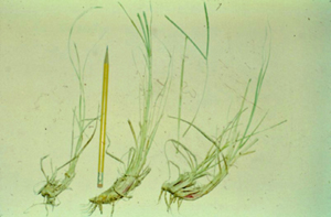 Photo showing carbohydrate-containing rhizomes of bahiagrass that provide energy for regrowth after grazing.
