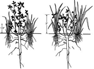 Diagram depicting effects of grazing pastures to 1.5 inch stubble height (left) versus 3 inch stubble height (right) on grass and clover regrowth. From Blaser et al., 1986, Virginia Polytechnic Institute. Bulletin 86-7.