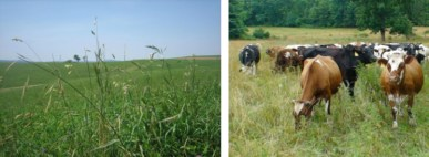 The dairies in this study have taken a modified approach to current mob grazing definitions, but grazing slightly more mature (taller) forages compared to traditional rotational grazing. These farmers have successfully implemented this grazing strategy, but it is important to note that all were long-time graziers with high levels of management