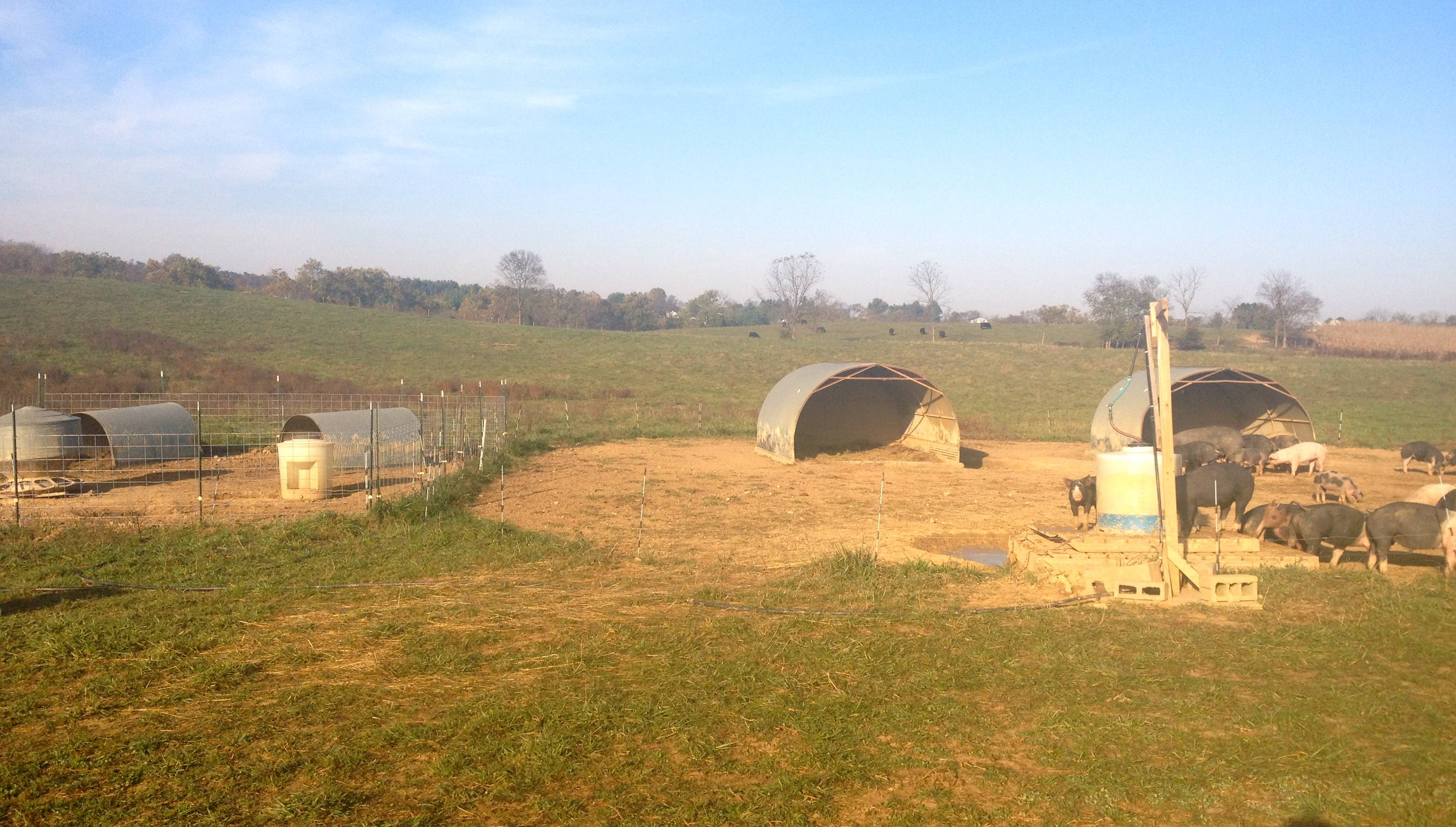 How to Raise Pigs on Pasture – On Pasture