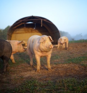 Can pigs actually smile? Healthy pigs sure appear to!