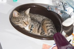 Molly is even confused about where to sleep.  Is the bathroom sink the right place?