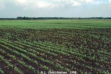Photo by R.L. (Bob) Nielsen, Agronomy Department, Purdue University
