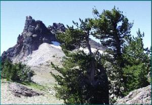 High elevation white bark pine.