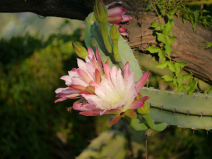 You have to get up early to get a look at this night blooming cactus.  The blossoms are about the size of an woman's hand.