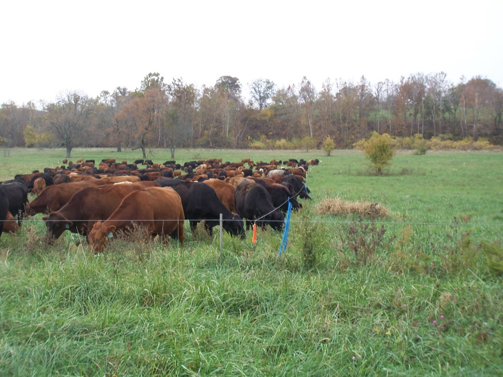 How To Set Up Paddocks For Managed Grazing On Pasture