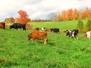 The herd returned from the pasture we rent at Wightman Farm on October 17, so the experiment has already begun.