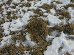 Photo of cool season, stockpiled grasses courtesy of ag.umass.edu