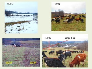 Here you can see the cows at work in all different weather. See how the weather and grazing affects the ground too by clicking to zoom in.