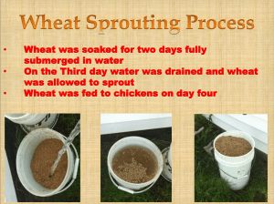 Wheat Sprouting Process