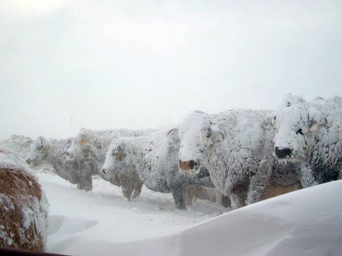 Baby It S Cold Outside Watch Out For Livestock On Pasture