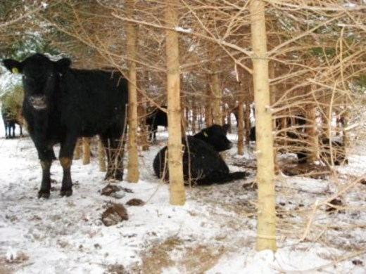 Cows In Pines