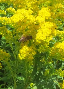 Honeybee on goldenrod the pollinator sanctuary at The Farm Between