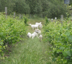 Averted sheep grazing in vineyard. Photo courtesy of Colby Eiermann.