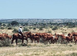 Lasater ranch cattle on range