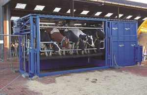 With this version, a hydraulic lift raises cows so that milking is more ergonomically friendly for the milkers.
