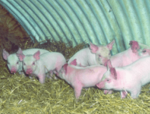 Piglets on pack. Photo courtesy of USDA-ARS