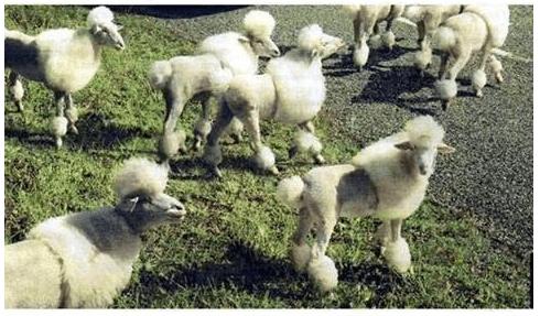 Poodle Sheep
