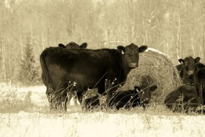 Bale-grazing at Angus Glen Farms.