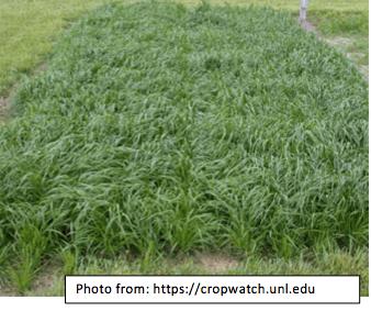 Ryegrass