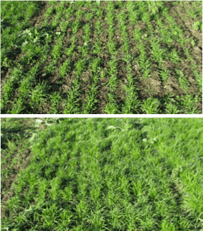 Top: Orchardgrass, red clover, and white clover growth 71 days after late-summer seeding. Seeding rates: 10, 8, 4 lb/acre respectively. Bottom: Orchardgrass, red clover, white clover and italian ryegrass growth 71 days after late-summer seeding. Seeding rates 10, 8, 4, 6 lb/acre respectively.