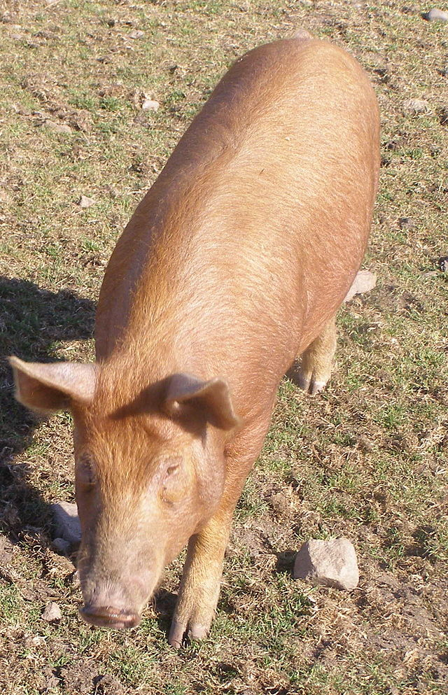 Why Pigs Fall Apart On Pasture On Pasture