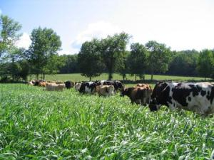 Dairy cows grazing on brown midrib sorghum sudangrass (BMR SS). Photo courtesy of University of Wisconsin Extension.