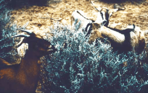 Goats grazing blackbrush