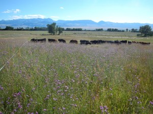 Jim Gerrish has turned to grazing to manage spotted knapweed in his pastures as he describes in this On Pasture article. Click!