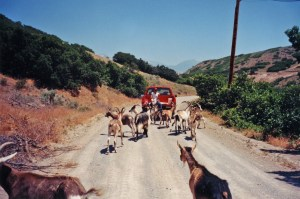 Moving goats with a truck.