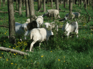 Well-managed livestock grazing can also be an effective, and cost-effective strategy to control unwanted plants in open wooded areas, like these sheep and goat selectively browsing a multiflora rose beneath a stand of black locust and walnuts
