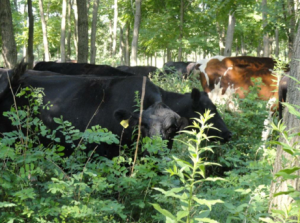 Silvopastures can be a good source of shade and lush forages during the hottest times of the year.  Silvopastures also offer a diverse smorgasboard of browse and forages that can improve animal health and performance.