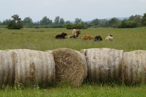 cattle-786401_640