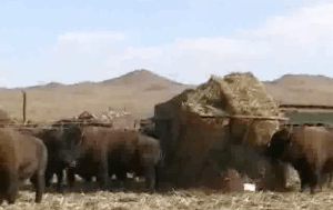 Bison in feedlot