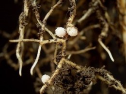 Symbiosis between rhizobia and legumes roots cause pinkish nodules. Rhizobia benefits from sugars exudated by roots. Plants absorb nitrogen captured and processed by rhizobia.