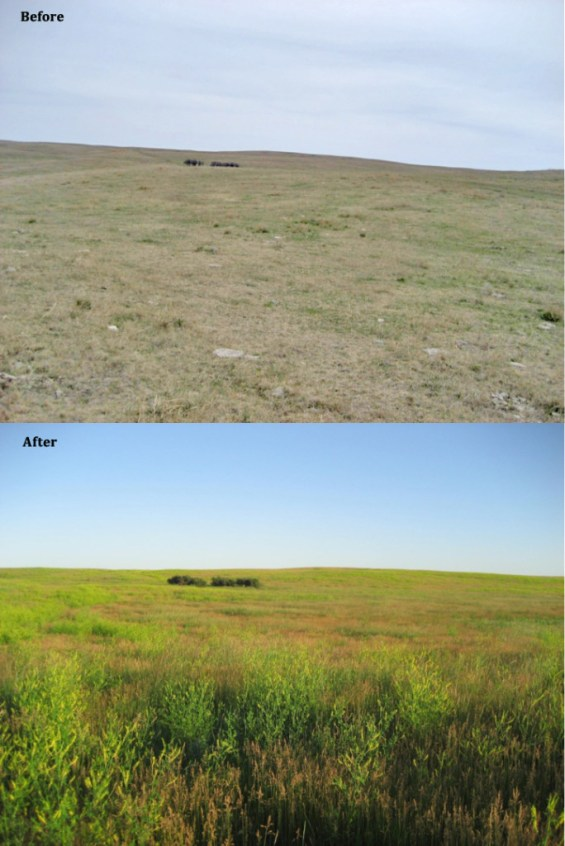 The only difference in management between the before and after is rest. Jay and Krista were able to rest this area as the cattle grazed elsewhere on the ranch.