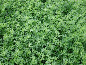 Alfalfa growing in a field. ARS scientists have developed an alfalfa seed coating that works against several soilborne plant pathogens.