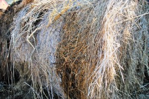 moldy-roll-bale-of-hay