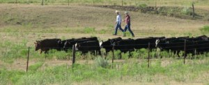 Bud Williams working cattle from his Stockmanship.com website