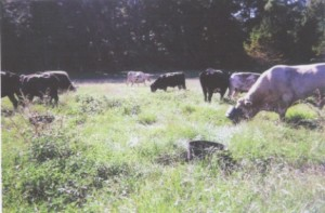 Our cattle in pasture with their training tubs.