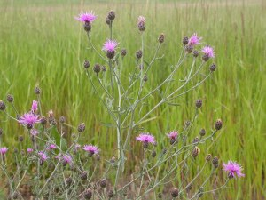 Spotted knapweed is a very nutritious plant with 14 - 20% protein in the rosette stage and 10-12% when it's bolting. It's a great forage!