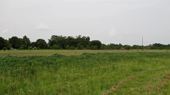 Cowpeas Fighting Sod (prepared seedbed in background) June 21