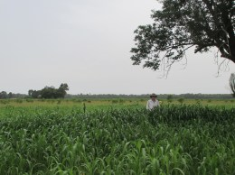 My husband Donald in Sorghum-Sudan Grass June 21.
