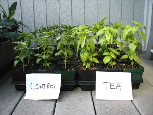 Compost tea does seem to provide benefits when used in gardening situations. Here is a comparison of basil plants with and without compost tea.